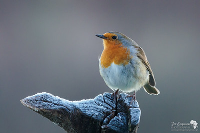 The European Robin taking a frosty pose