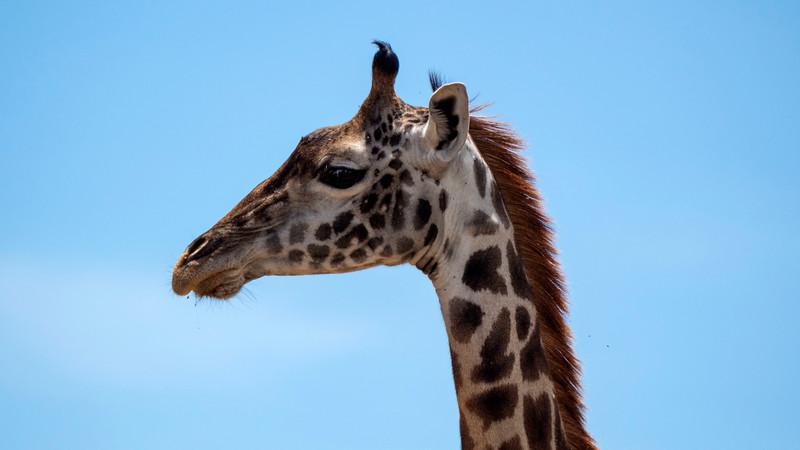 Tanzania-Serengeti-National-Park-Safari-Giraffe-02.jpg