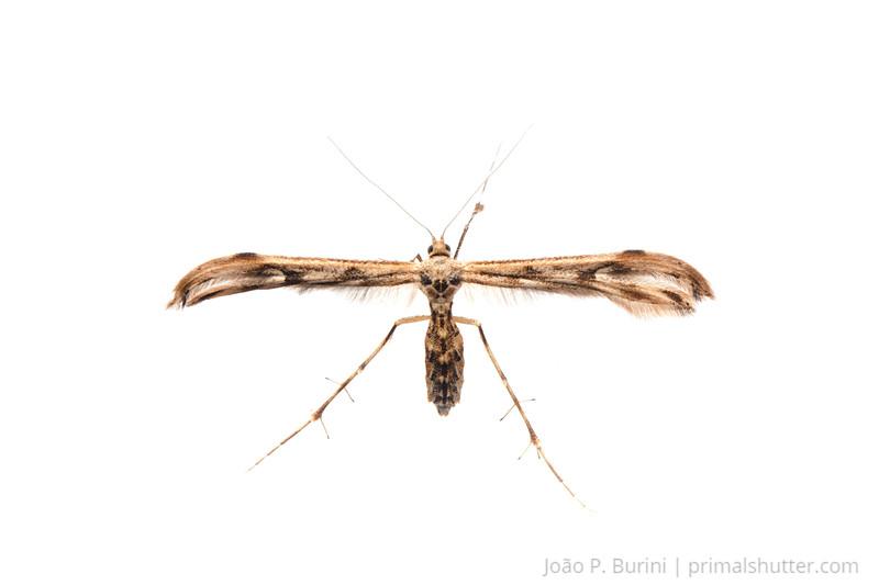 Plume moth (Pterophoridae) Piedade, São Paulo, Brazil Atlantic forest (rainforest strictu sensu) August 2012