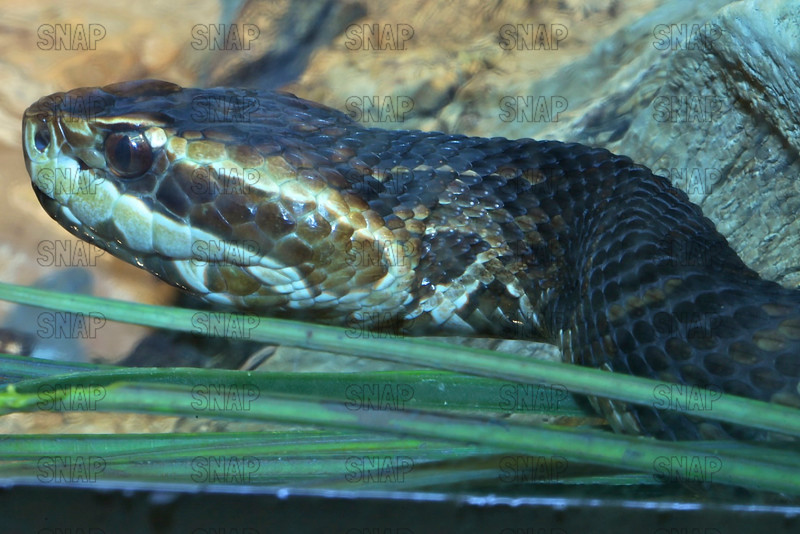 Florida Cottonmouth Moccasin