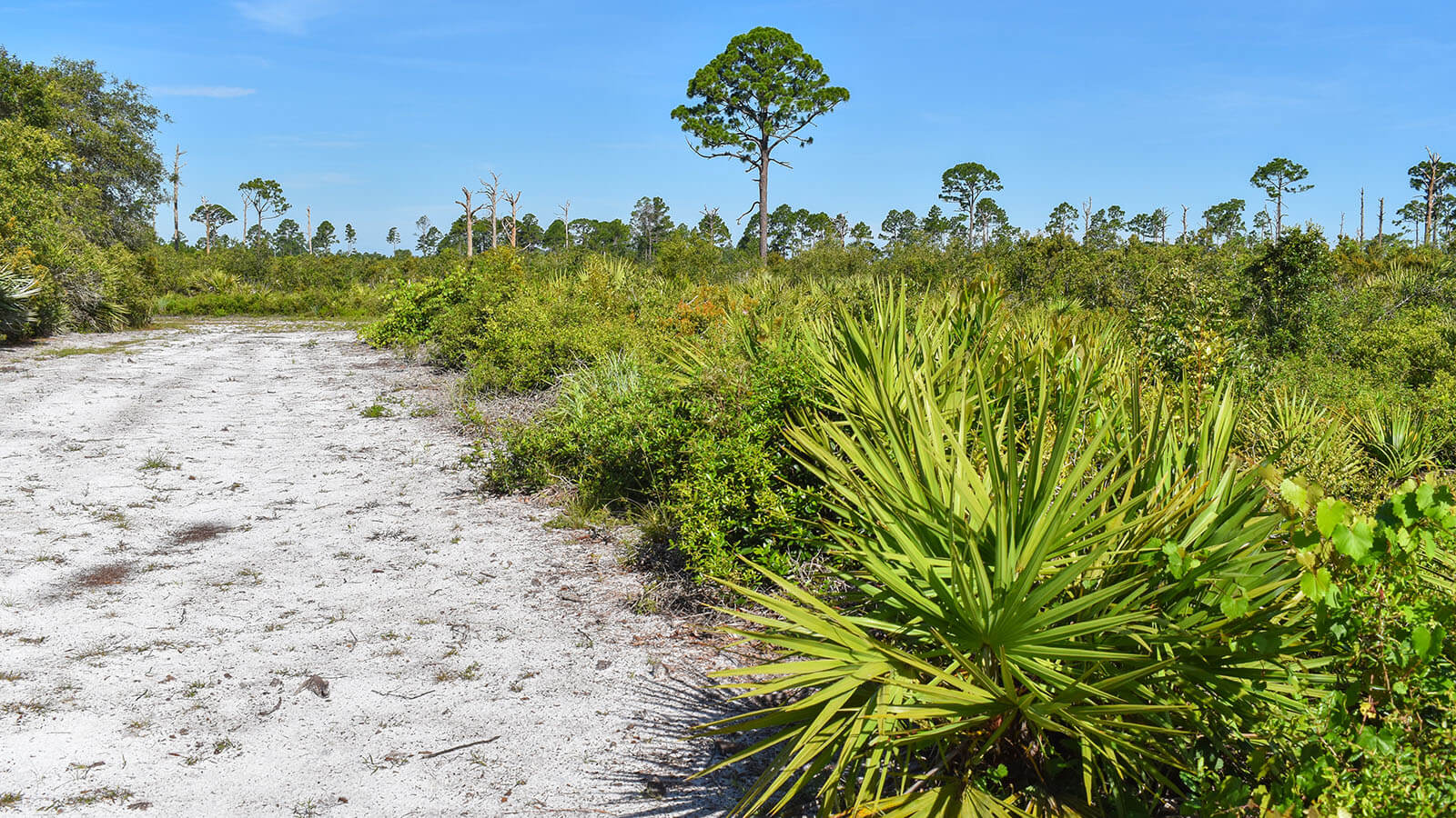White sand and scrub plants