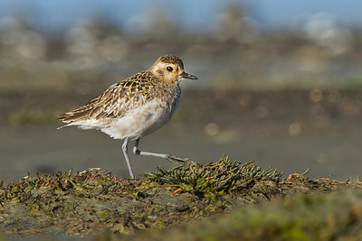 Pacific Golden Plovers