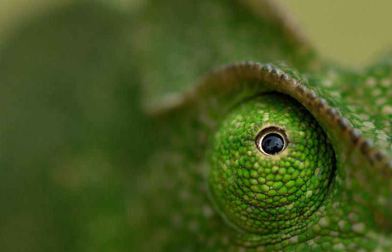 Chameleon-7.jpg