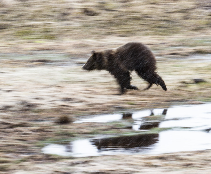 Grizzly sow and cub Yellowstone National Park WY IMG_0587.jpg