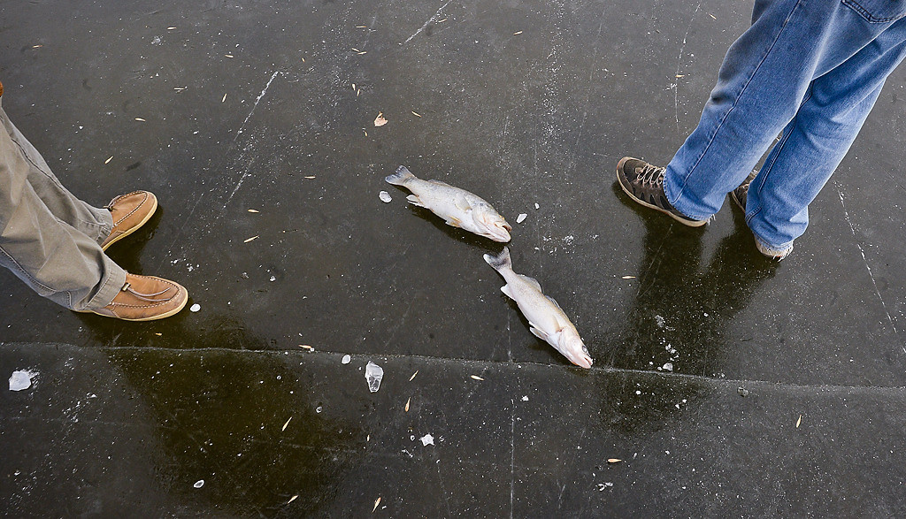. A largemouth bass, left, and a walleye were one of many found dead fish at Lake Owasso. (Pioneer Press: Ben Garvin)
