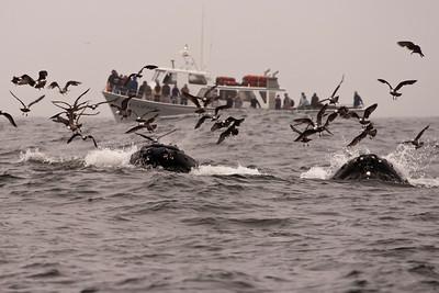 Monterey Bay Whales
