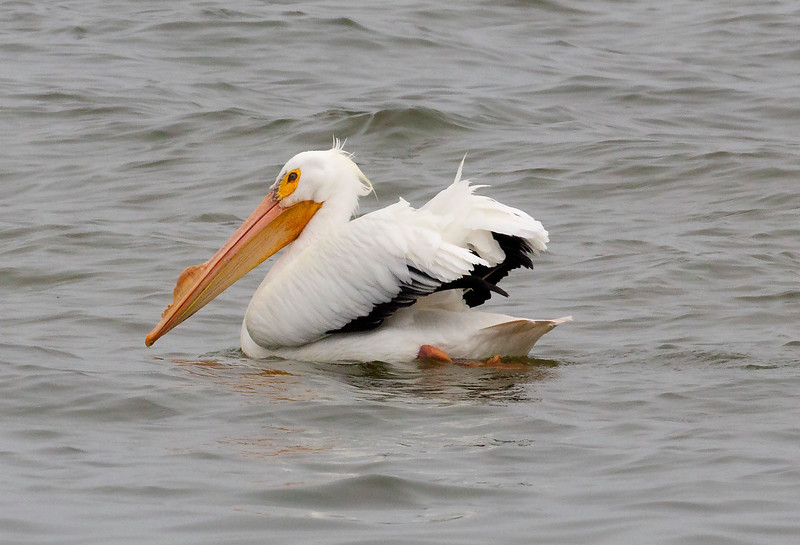 One White Pelican