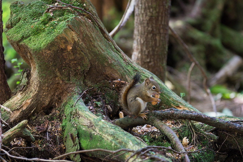 Little chipmunk on the Ward Lake Loop Trail