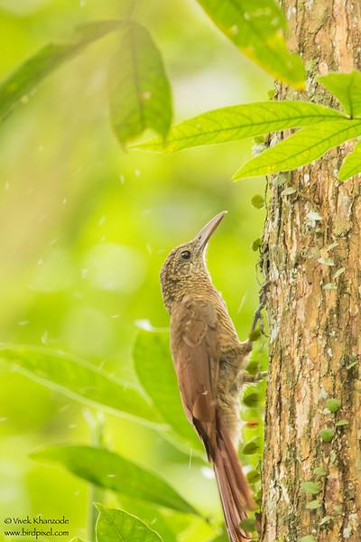 Straight-billed Woodcreeper - Amazon, Ecuador