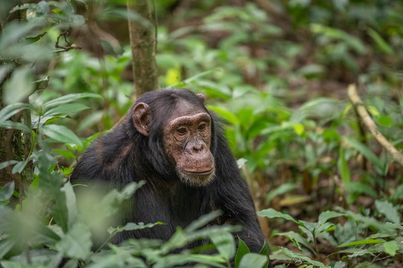 Uganda_T_Chimps-698.jpg