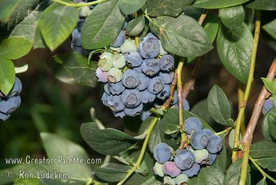 Earliblue Blueberries (Vaccinium corymbosum x)