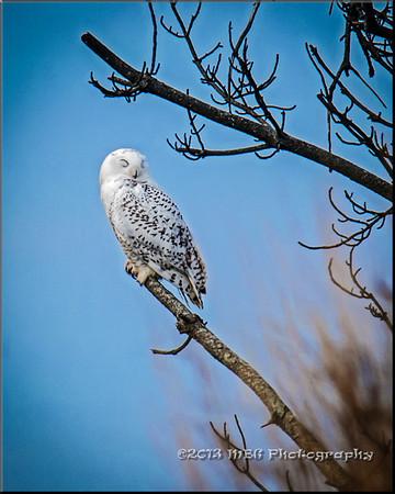 Delaware Snowy Owl 2013