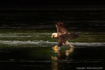 Bald Eagle fishing for hake!