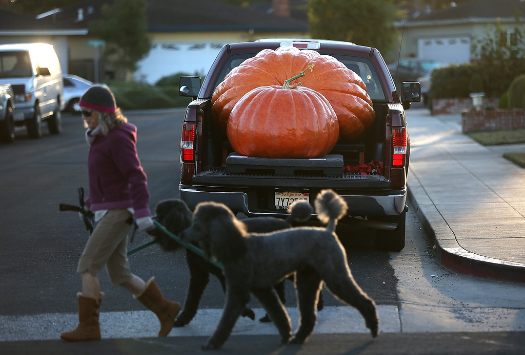 . Giant pumpkins sit in the bed of a truck before the 40th Annual Safeway World Championship Pumpkin Weigh-Off on October 14, 2013 in Half Moon Bay, California.   (Photo by Justin Sullivan/Getty Images)