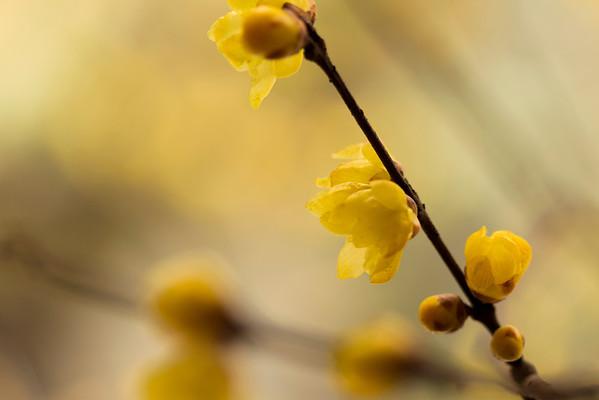 Plum Blossom 梅花