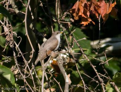 Cuckoos and Their Allies