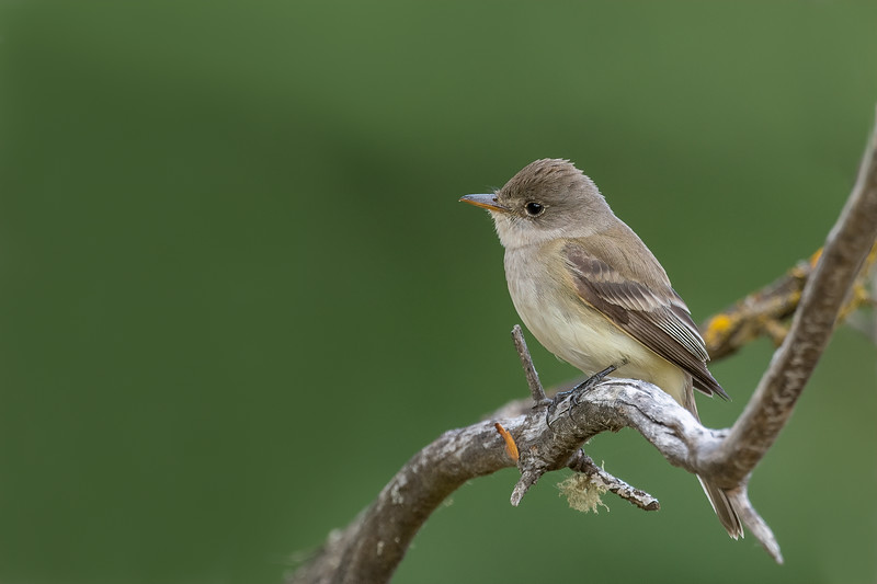Willow Fly Catcher