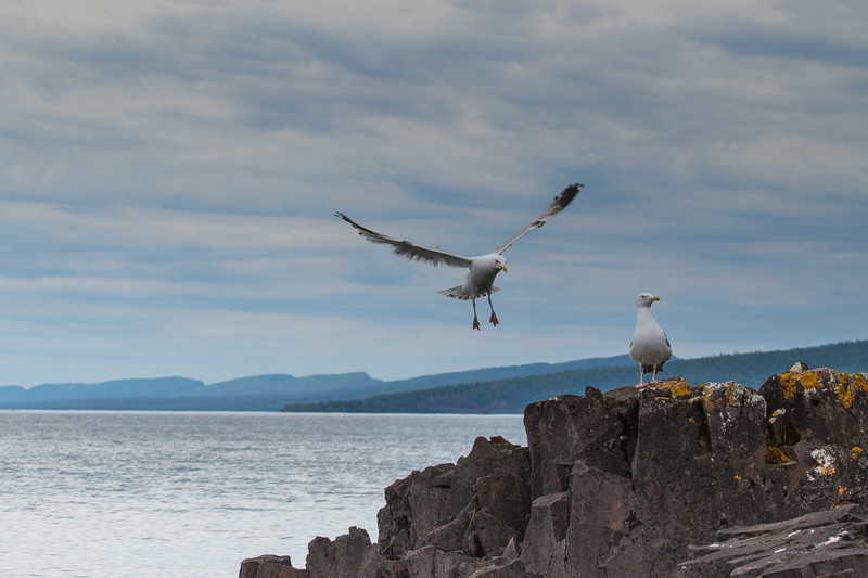 Seagulls Lake Superior-6366.jpg