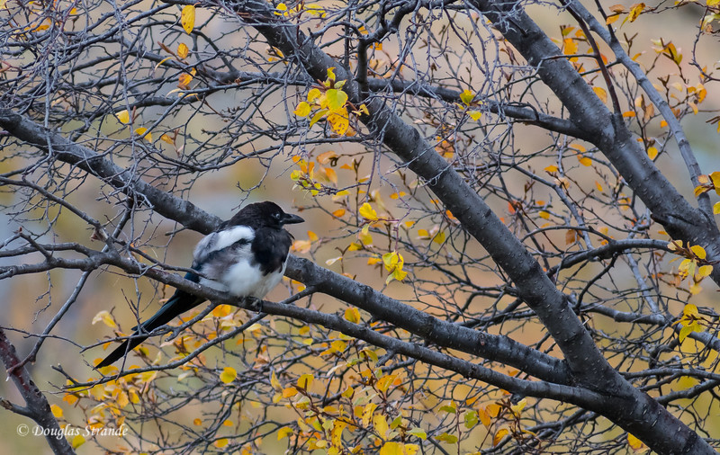 Magpie comtemplating Winter
