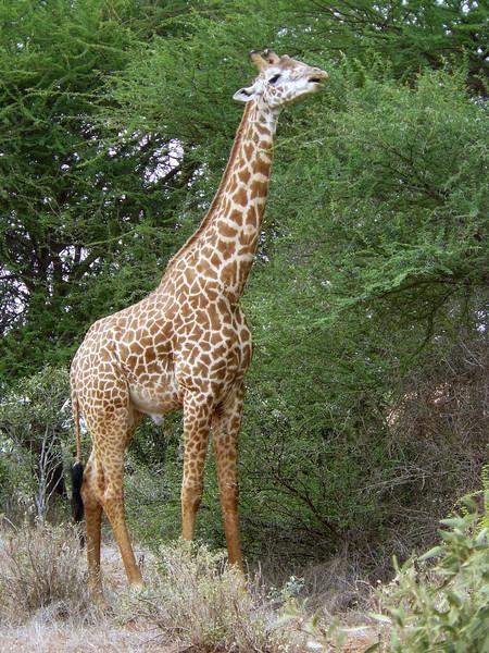 Giraffe Tsavo East.jpg