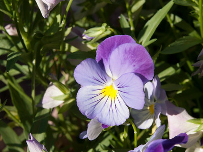 Pansy - Plentifall Purple Wing