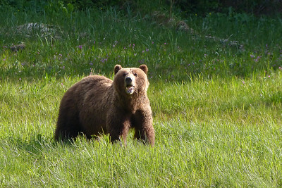 Mother Brown Bear June 2014, Cynthia Meyer, Chichagof Island, Alaska