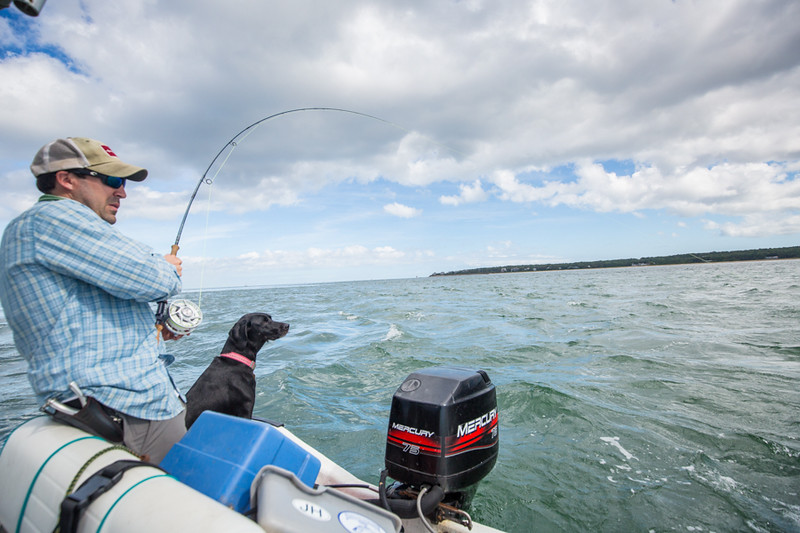No pictured: the dog, barking madly, as the albie was boated. Chasing Martha's Vineyard False Albacore During the MV Derby