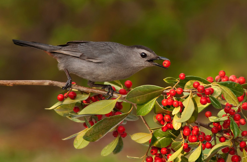 Grey catbird and holly berries