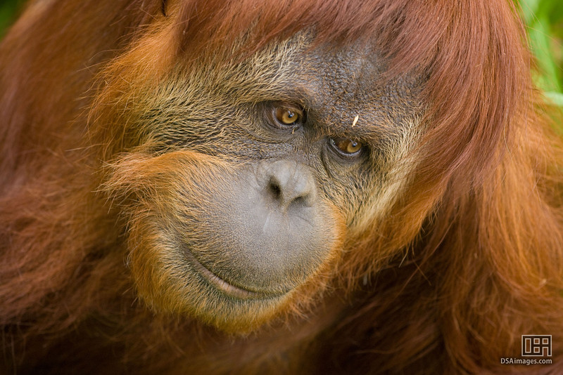 The Sumatran Orang-utan (Pongo pygmaeus abeli) who, half an hour later, escaped her enclosure causing the Zoo to be evacuated.