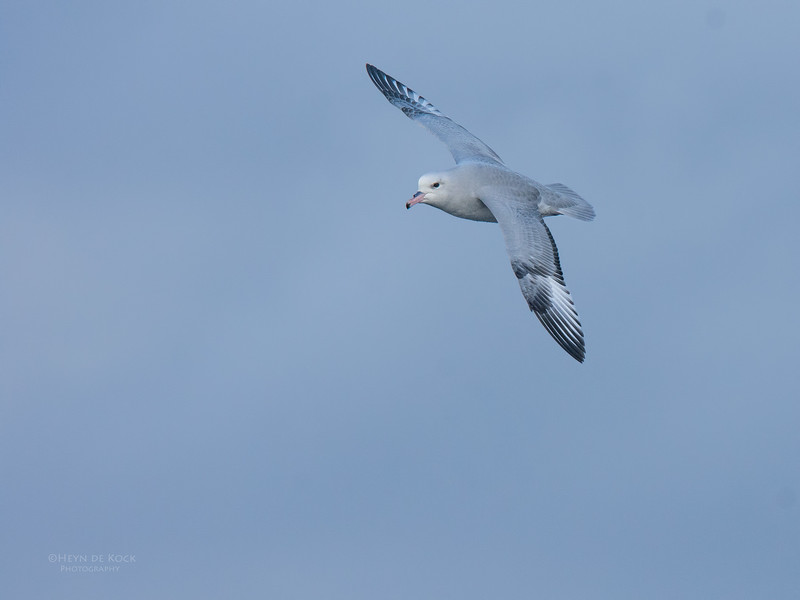 Southern Fulmar, Eaglehawk Neck, TAS, May 2016-13.jpg