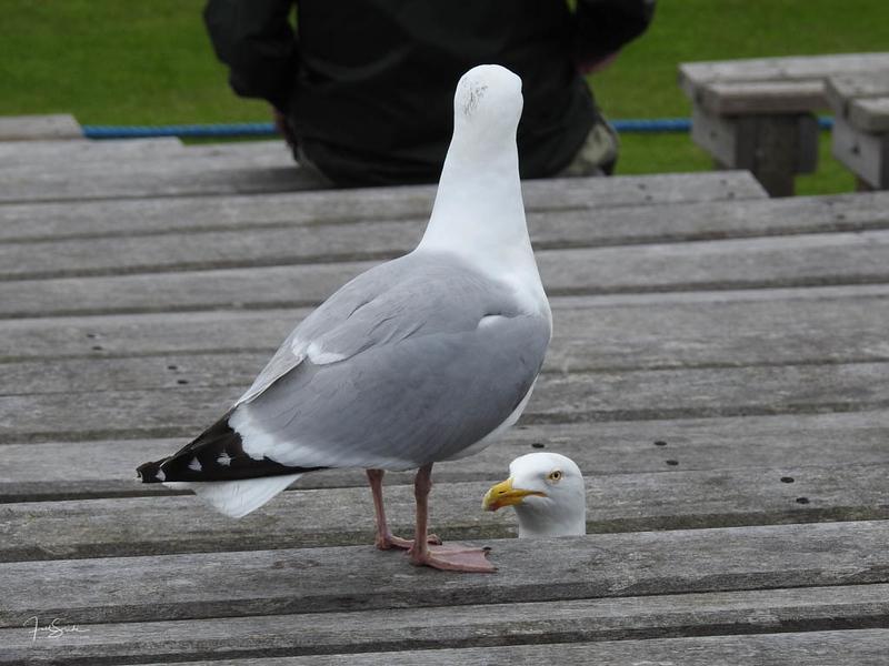 Scarborough seagulls 2.jpg