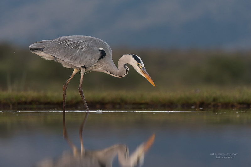 Grey Heron, Zimanga, South Africa, May 2017-6.jpg