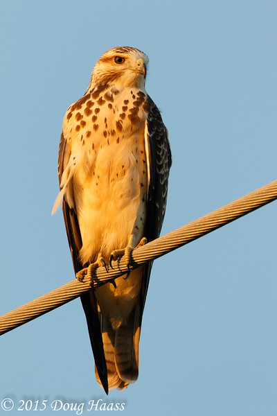 Swainson's Light Morph Juvenile Hawk
