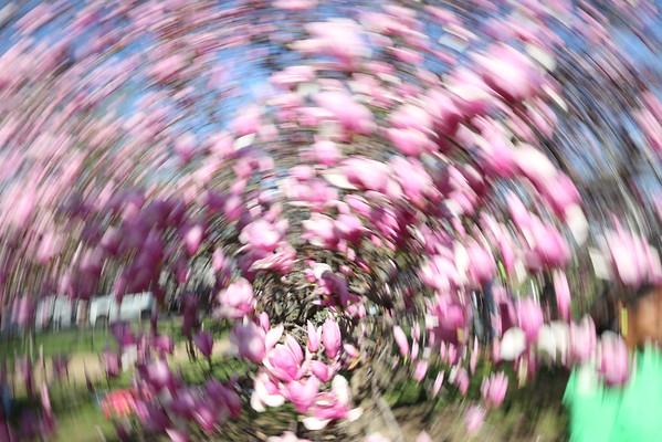 2015 Cherry Blossoms
