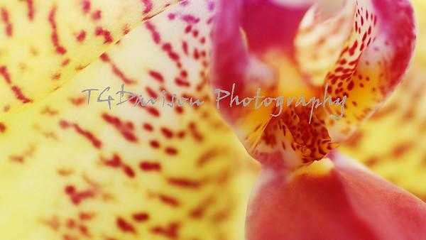 hausmann orchids