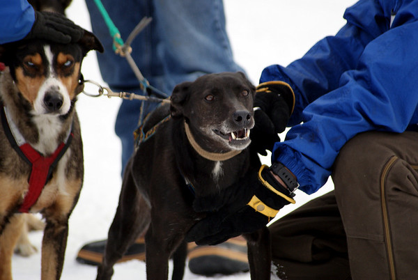Dog Sled Races in Tamworth
