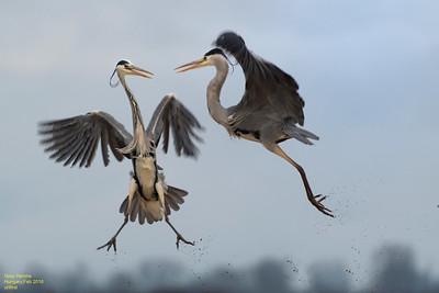 Grey Herons vs. Grey Herons