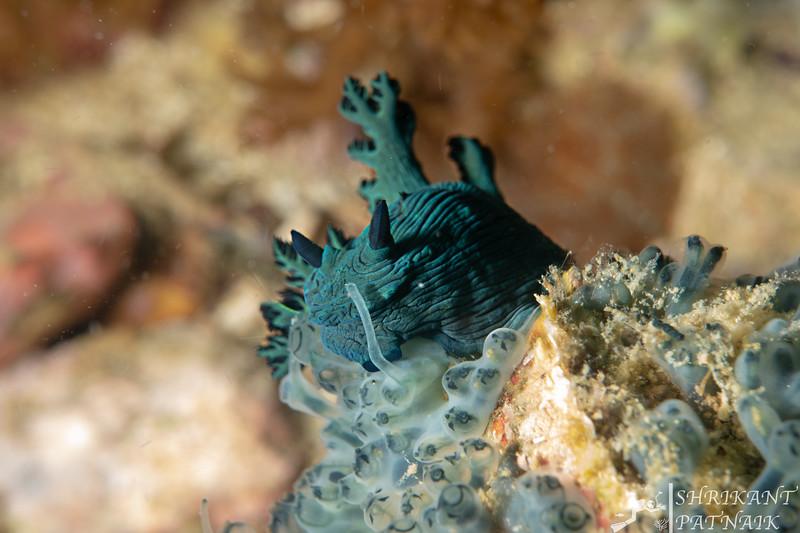 Miller's Nembrotha Nudibranch