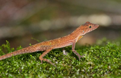 Anolis Lizards