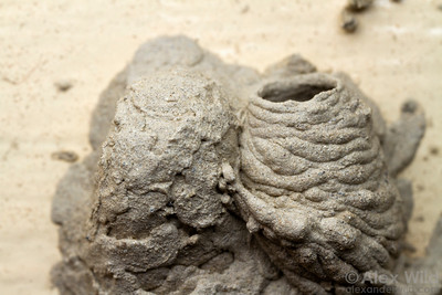 A Pison sp. mud wasp (Crabronidae) nest.  Yandoit, Victoria, Australia