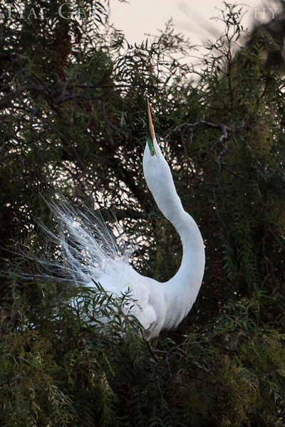 Great Egret Courting Display Newark, California 1304N-GE5