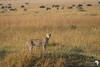 Cheetah - Mara