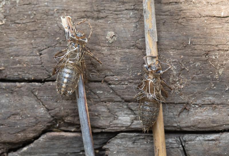 Vasemmalla vaskikorennon, oikealla ruskohukankorennon toukkanahkat. Ne löytyivät viereisestä ruovikosta.