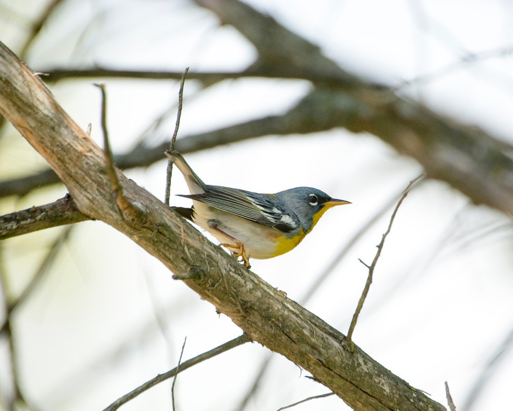 Northern Perula Warbler