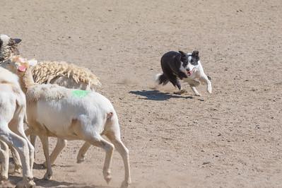 Course A Sheep