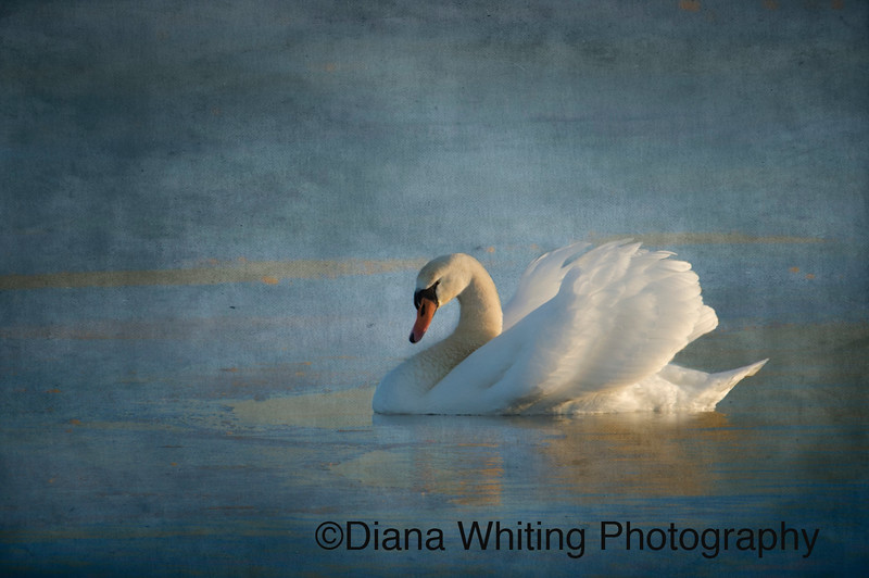 Mute Swan Artistically Represented