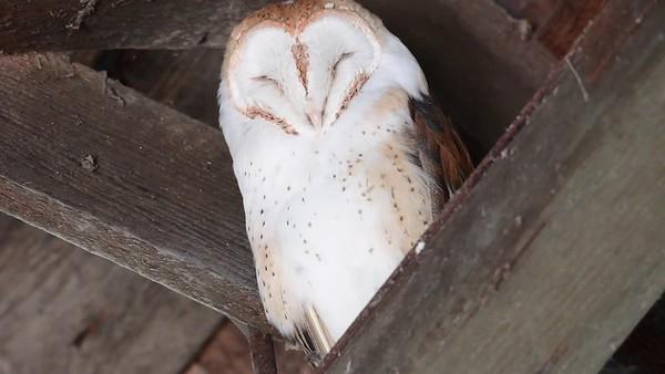 5-24-17 Barn Owl - Vancouver
