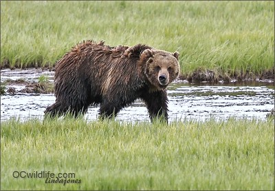 Yellowstone Wildlife Bears and Wolves 2013-2014