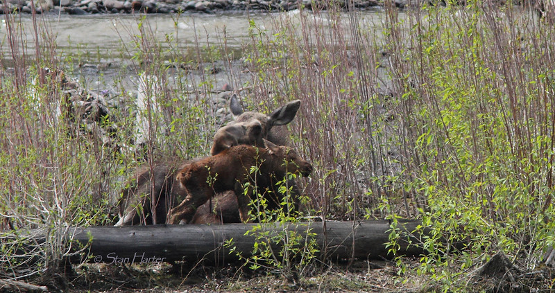 Hours Old Moose Calf.jpg