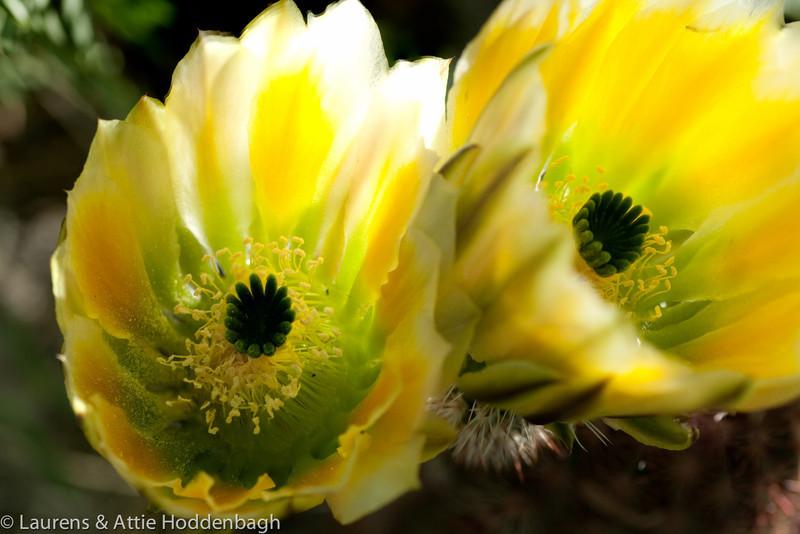 Blooming Rainbow Cactus